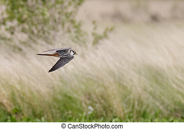 Hobby - A Hobby hunting over the heathland