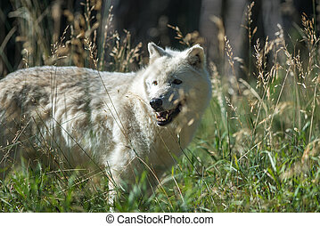 White Wolf - A white wolf in the early morning sun