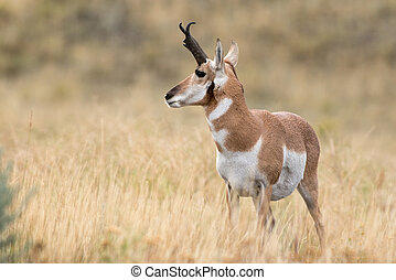 Pronghorn Sheep - A pronghorn sheep looks off into the...