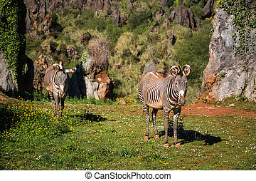 The Grevy s zebra (Equus grevyi), sometimes known as the...