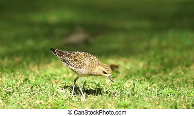 American Golden Plover Feeding Bird Finds Earthworm