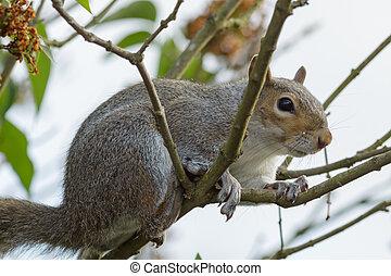 Grey Squirrel (Sciurus carolinensis) - A Grey Squirrel...