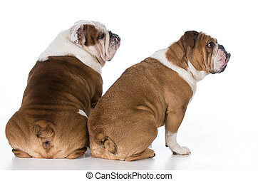 two dog looking over shoulder - two english bulldog from...