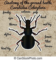 Insect anatomy. Sticker ground beetle bug. Carabidae coleoptera. Sketch of ground beetle. ground beetle Design for coloring book. hand-drawn ground beetle. Vector