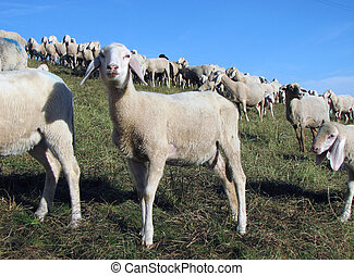 lamb with many sheep grazing in the meadow - young lamb with...