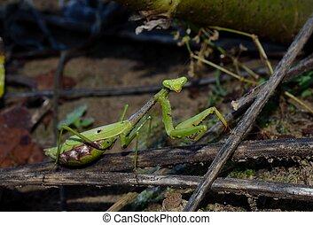 Praying Mantis in outdoor setting