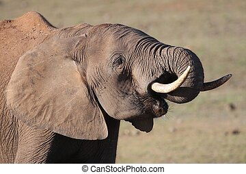 African Elephant at Waterhole - Large male African elephant...