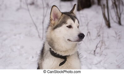 Husky Dog in Winter Forest - dog looks around at winter park