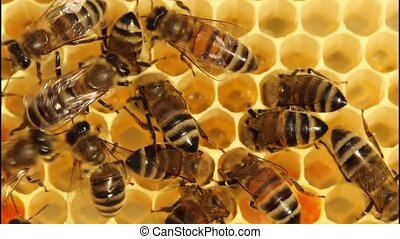 Work bees in hive - Bees convert nectar into honey and cover...