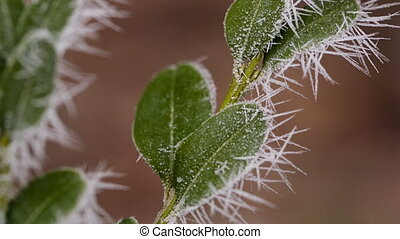 Leaves in Hoarfrost - frozen leaves