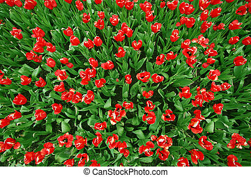 Red tulips Birds view - Beautiful tulip flowerbed seen from...