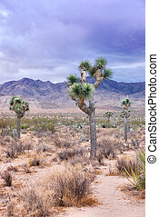 Joshua Tree - Twilight in Joshua Tree national park in...