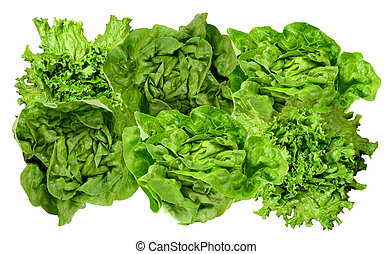 fresh green lettuce - boston and curly green lettuce