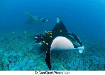 Two manta rays swimming alongside - A manta ray duo swimming...