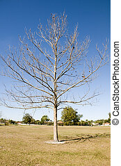 Huge single tree in winter with no leaves and blue sky