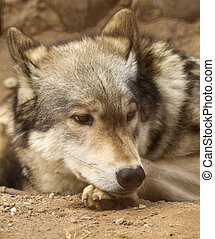 Wolf thoughtfully lying on the ground