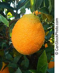 Ripe oranges on tree