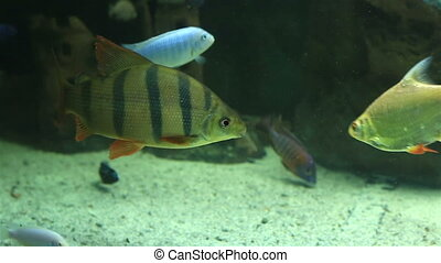 Beautifully decorated aquarium with freshwater fish -...