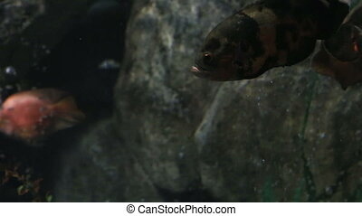 Oscar fish - Astronotus ocellatus Beautifully decorated...