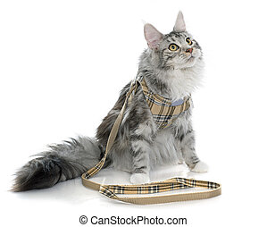 maine coon cat and harness in front of white background