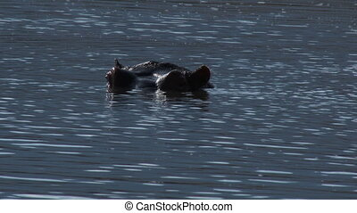 Hippopotamus relaxing in water with eyes just above...