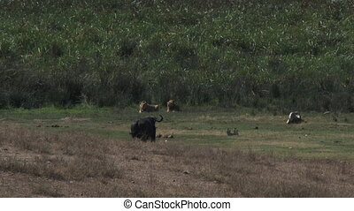 Lions versus Buffalo - Lions (Panthera leo) and Buffalo...