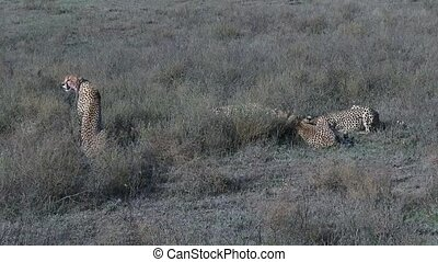 Cheetahs eating on prey - cheetah mother overlooking the...