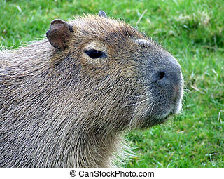Capybara (Hydrochoerus hydrochaeris) portrait