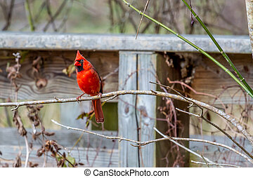 A Bright Red Male Cardinal Bird in a Tree (Cardinalidae) in...