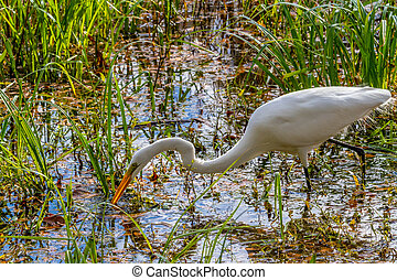 A Great White Egret, Ardea alba, Out Hunting for a Meal at...