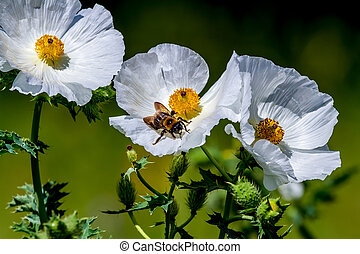 Closeup of a Bee on a White Prickly Poppy Wildflower Blossom...