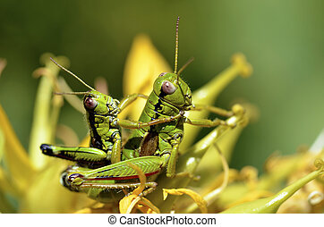 Mating grasshoppers - Macro mating grasshoppers on gentiana...