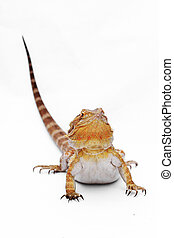 Bearded dragon isolated on white background. Very popular as...