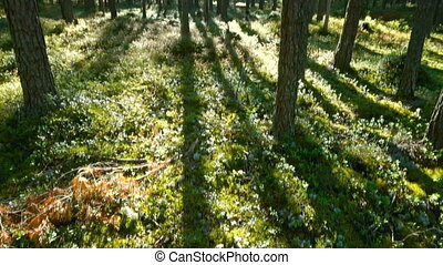 shadows of trees in north forest, tilt view - landscape with...