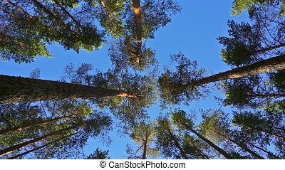 tops of pine trees in forest