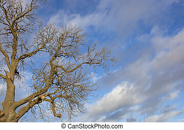 winter ash tree - a bare winter ash tree with patterned bark...