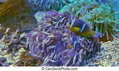 Clownfish shelters in anemone in Red Sea - Clownfish...