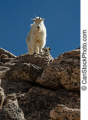 Goat on Rock Front View - A goat facing forward atop a...