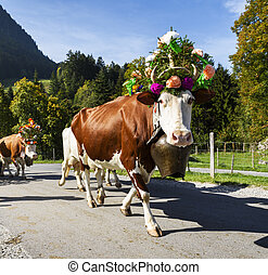 transhumance event in Charmey - Farmers with a herd of cows...