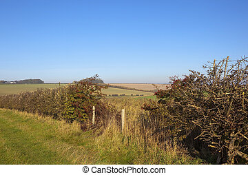 hedgerow with berries - a hawthorn hedgerow in autumn with...