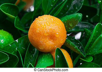 tangerine on a tree