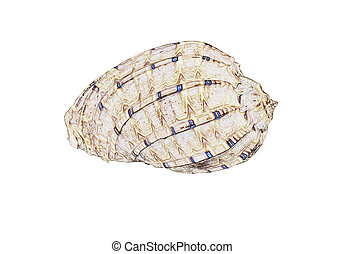 Illustration of a sea shell