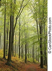Autumn beech forest - Beech forest in misty weather at the...