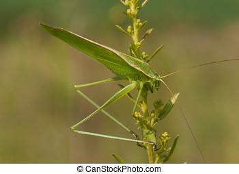 Summer Katydid - A long-legged and vivid green Katydid of...