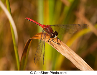 White-faced Meadowhawk - A beautiful male White-faced...