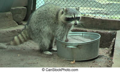 Raccoon rinses food in a basin - Raccoon Procyon lotor...