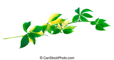 Green branch of grapes leaves Parthenocissus quinquefolia...