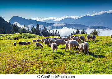 Sheep on alpine pasture in sunny summer day. Foggy morning...