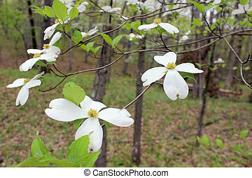 White blossoms of Dogwood Tree in United States of America -...