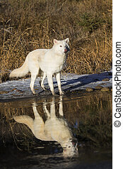 Arctic Wolves - Two Arctic Wolves play around near an icy...